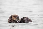 Sea Otter (Enhydra lutris) pup grooming, Elkhorn Slough, Monterey Bay, California
