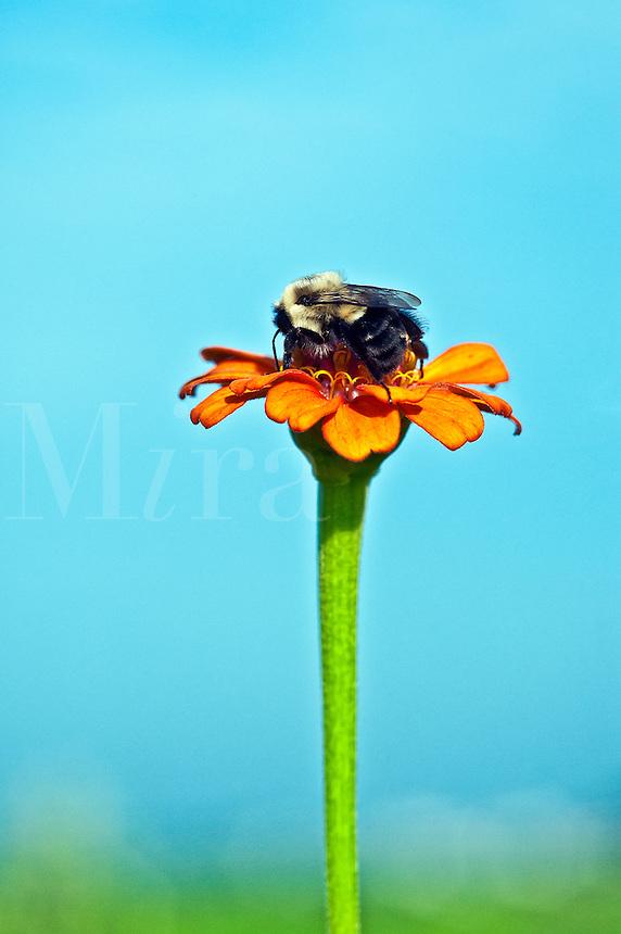 Bumblebee on zinnia bloom.