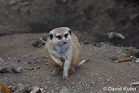 0329-1014  Meerkat, Suricata suricatta  © David Kuhn/Dwight Kuhn Photography.