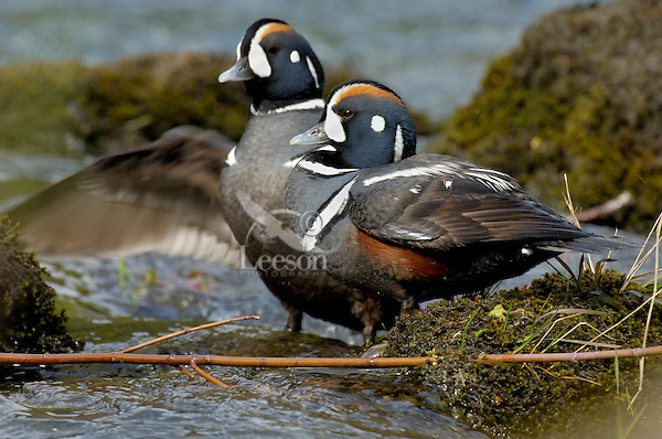 Harlequin Duck pair (Histrionicus histrionicus) along fast flowing mountain stream.  Pacific Northwest.  Spring.