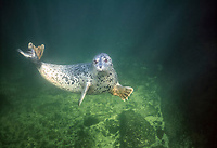 Harbor seal, Phoca vitulina, underwater near Nanaimo, British Columbia, Canada