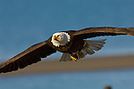 Portrait of a bald eagle in flight at Homer, Alaska.