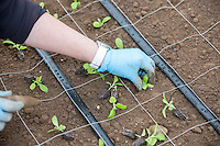 Planting stock plants for indoor flower prodcution - Lincolnshire, february