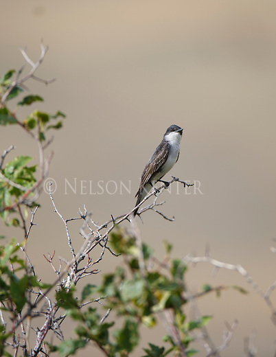 an eastern kingbird perched on a branch in montana