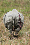 Rear view of Indian One-horned Rhino (Rhinoceros unicornis) showing gaping wound from fighting with another rhino. Kaziranga National Park, Assam, India.