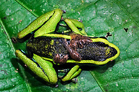 three-striped poison dart frog, Ameerega trivittata, adult male, guarding and carrying tadpoles on its back, Tambopata National Reserve, Madre de Dios Region, Tambopata Province, Peru, Amazonia