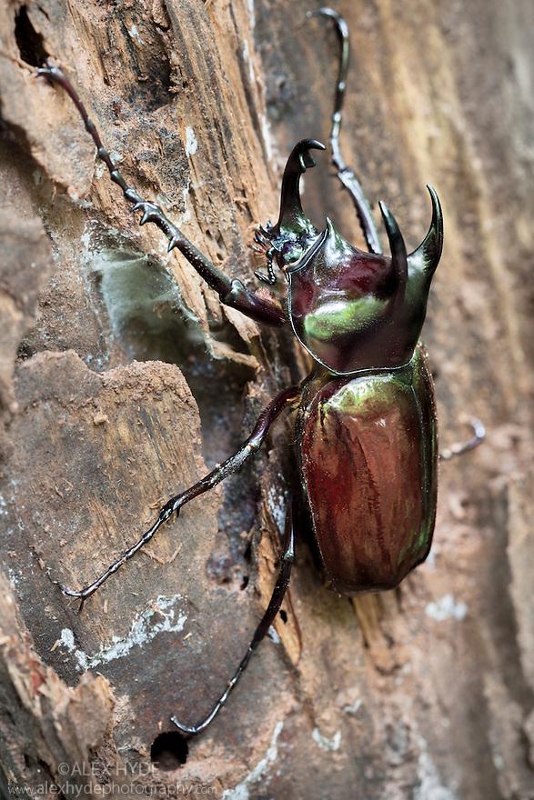 Atlas Beetle {Chalcosoma sp.} in tropical rainforest. Danum Valley, Sabah, Borneo, Malaysia.