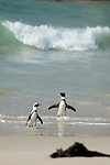 Manchot du cap.jackass penguin.colonie de manchots de Simons' town sur la plage de Boulders