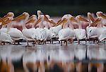 Great white pelicans, Lake Nakuru, Kenya