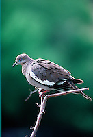 White-winged dove. (Zenaida asiatica). Arizona.