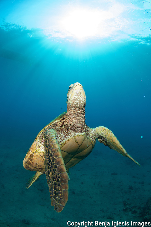 Gree sea Turtle (Honu) swimming around North Nahuna,  south shore of Maui.Nahuna is known for the variety of fish and eels.Massive caves and easely access from shore.In a good day visibility can be more than 100 feet.