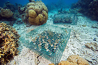 Coral being propagated on a reef in Palau, Micronesia.