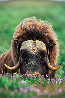 Muskox in arctic flowers, Arctic NWR, AK. Summer.