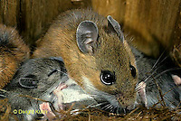 MU28-102a  White-footed Mouse Mother with young - 13 day old young - Peromyscus leucopus
