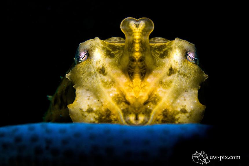 Golden Cuttlefish in the Lembeh Strait