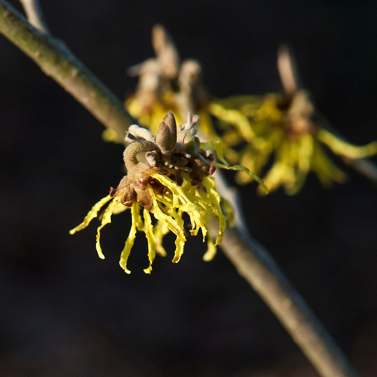 Witch hazel (Hamamelis x intermedia 'Arnold Promise'), end January.