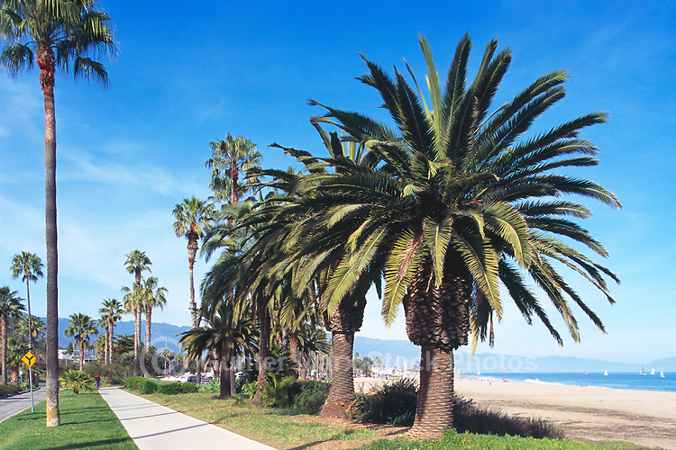 Santa Barbara, California, USA - Palm Trees growing in Shoreline Park along Shoreline Drive and Waterfront Beach