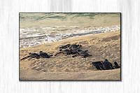 Leatherback hatchlings<br /> Sandy Point <br /> St. Croix<br /> US Virgin Islands