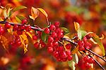3028-CB Red Splendor Crabapple, Malus Red Splendor w/ dew at Minnesota Landscape Arboretum