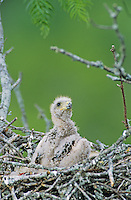 Harris's Hawk, Parabuteo unicinctus,young in nest in Mesquite tree ca. 2 weeks old, Willacy County, Rio Grande Valley, Texas, USA