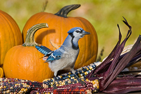 Blue Jay (Cyanocitta cristata) in backyard garden eating Indian corn beside Halloween pumpkin display.  Nova Scotia. Canada.