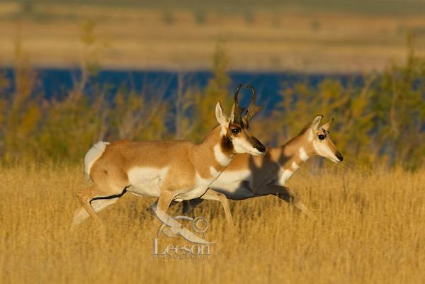 Pronghorn (Antilocapra americana) antelope buck and doe.  Western US. fall.