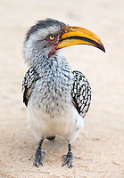 "Southern Yellow-Billed Hornbills are nicknamed ""flying bananas."""