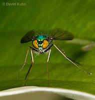 1225-0903  Long-Legged Fly, Family: Dolichopodidae  © David Kuhn/Dwight Kuhn Photography