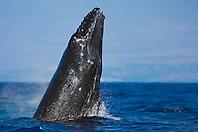Humpback Whale calf, breaching and breathing, Megaptera novaeangliae, Hawaii, Pacific Ocean.