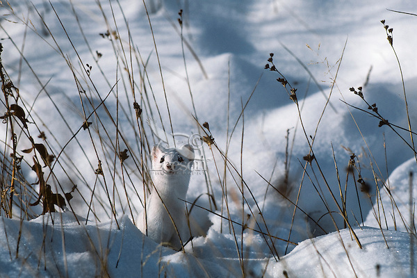 Long-tailed Weasel (Mustela frenata).  Winter.  Northern Plains.