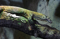 Komodowaran im Zoo Durell Wildlife Conservation Trust, Insel Jersey, Kanalinseln
