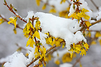 Forsythie, Blüten bei Schnee, Goldglöckchen, Hybrid-Forsythie, Garten-Forsythie, Forsythia x intermedia, border forsythia, Le Forsythia hybride, Forsythia de Paris, Ziergehölz