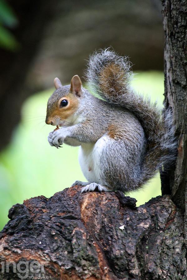 Grey Squirrel in St James, London, United Kingdom