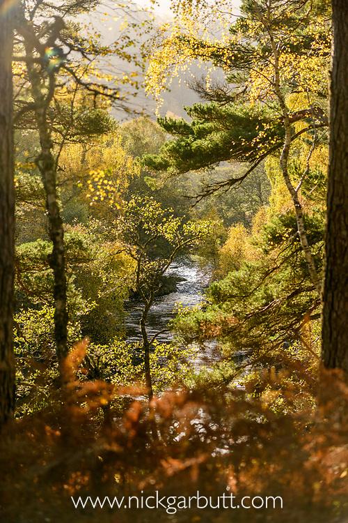 Scots Pine (Pinus sylvestris) and Downy Birch (Betula pubescens). Caledonian pine forest, Glen Strathfarrar, Scottish Highlands. Scotland. October.