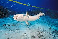 whitetip reef shark, Triaenodon obesus, caught in illegal gill net set in the Similan Islands National Park, Thailand, Andman Sea, Indian Ocean