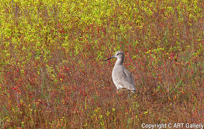 Willet in a colorful field, Bolsa Chica State Beach.