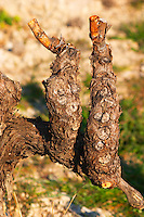A very old vine with one cut (eye) for every year at Mas de Gourgonnier, in Les Baux de Provence, Bouche du Rhone, France
