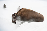American Bison (Bison bison) pushing through a deep snow drift. Hayden Valley, Yellowstone National Park, Wyoming, USA. January.