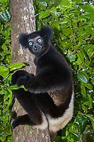 Indri (Indri indri), young, on a tree, northeast Madagascar, Madagascar, Africa