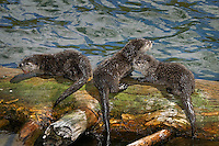 Northern River Otter (Lontra canadensis) pups on log along edge of lake.  Western U.S., summer.  Pup on left has piece of cutthroat trout, but just learning to eat fish at this stage of their lives..