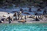 Southern Fur Seals