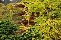 Red pagoda framed by yellow fall foliage of Ginkgo tree in Japanese Tea Garden in Golden Gate Park, San Francisco, California.
