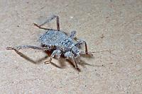Staubwanze, Maskierter Strolch, Kotwanze, Große Raubwanze, Larve, Nymphe, Reduvius personatus, masked hunter, fly bug, larva, larvae, nymph, Raubwanzen, Reduviidae, assassin bugs