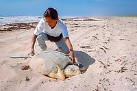biologist measures nesting Kemp's ridley sea turtle, Lepidochelys kempii, (endangered), Rancho Nuevo, Mexico, Gulf of Mexico, Atlantic Ocean