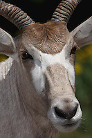 The Addax (Addax nasomaculatus), also known as the screwhorn antelope, is a critically endangered desert antelope that lives in several isolated regions in the Sahara desert.