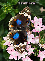 LE45-555z  Blue Pansy Butterfly/Blougesiggie, Junonia oenone oenone, Africa