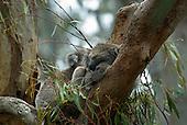 Phillip Island, Australia. Koala bear.