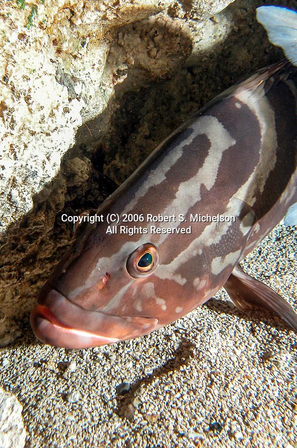 Nassau grouper resting against coral head facing left, vertical