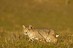 Bobcat (Lynx rufus californicus) in grassland, Santa Cruz, Monterey Bay, California