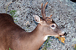Whitetail Deer buck foraging on leaves during fall, medium shot facing right.